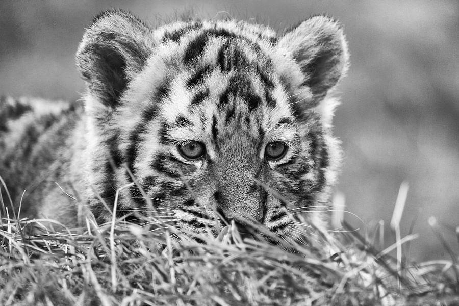 Tijgerjong in het gras. van Michar Peppenster