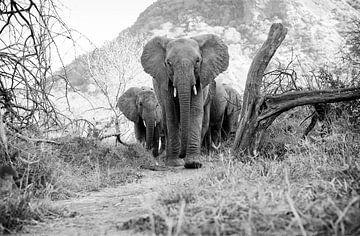 Elefantenherde auf dem Weg nach Ithumba, Zuflucht für verwaiste Elefanten, Kenia. von Louis en Astrid Drent Fotografie
