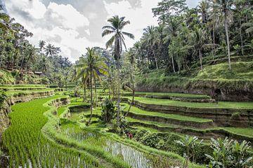Rijstvelden Ubud  op Bali van Dries van Assen