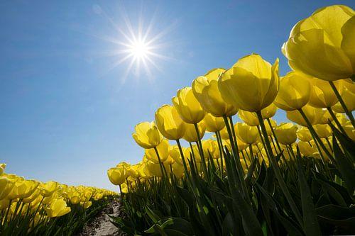 Gele tulpen in de Zon van
