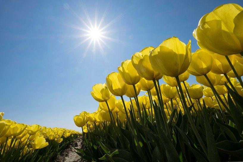 Gele tulpen in de Zon van Ruud van der Lubben