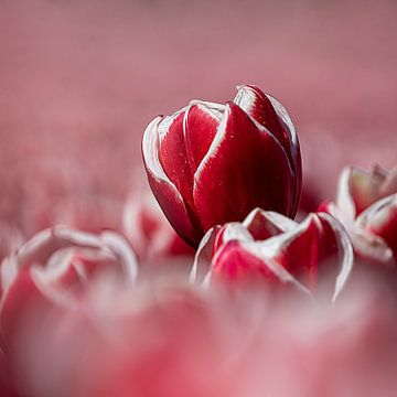 Rood witte tulp van Coby Bergsma