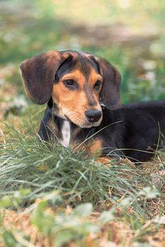 Teckel Puppy van Angelique Niehorster