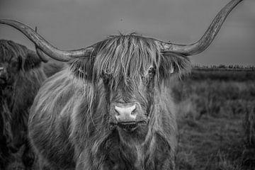 Zwart wit foto van koe rund met hoorn Schotse Hooglander von R Alleman