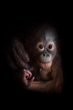 Ein kleines Orang-Utan-Baby, das mutig nach vorne schaut. Ein aufmerksamer, ängstlicher Blick aus de von Michael Semenov