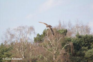 Valk Roofvogel van Koos Koosman