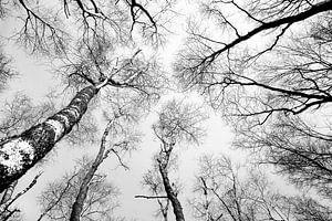 Bomen groeien naar de hemel van