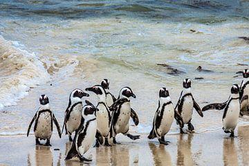 Pinguïns op het strand van Boulders Beach von Easycopters