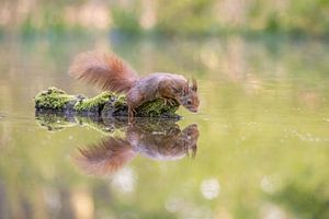 Eekhoorn met reflectie van