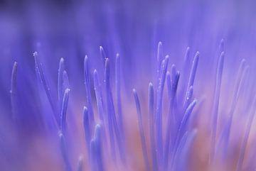 Cardoon Blume Weichzeichner von Danny Hummel