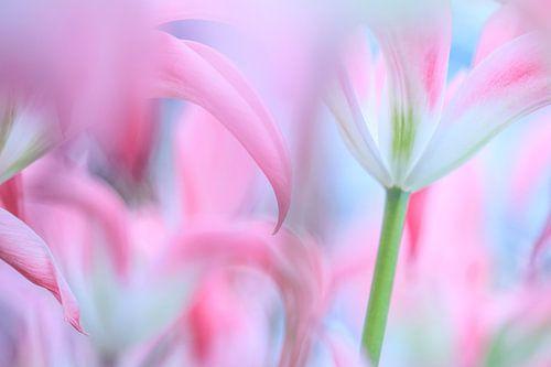 Tulpen von