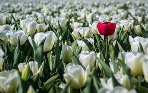 De eigenzinnige tulp (Holland) van
