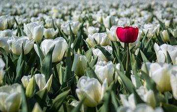 De eigenzinnige tulp (Holland) van ErikJan Braakman