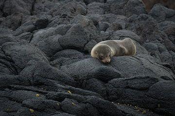 Een pelsrob jong slaapt op de rotsen bij Dunedin, Nieuw Zeeland van Anges van der Logt