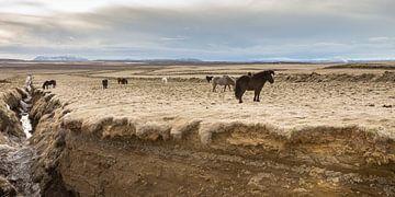 Ponys auf Island von Hans Brinkel