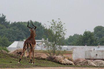antilope von Claas-Jan Jager