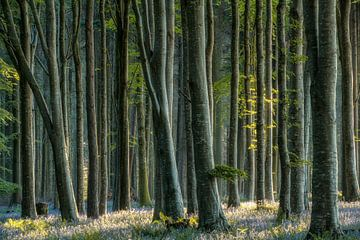Die letzten Glockenblumen von Lars van de Goor
