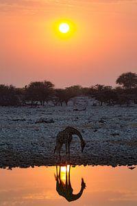 Trinkende Giraffe bei Sonnenuntergang von Menso van Westrhenen