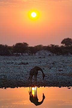 Drinkende giraffe tijdens zonsondergang van