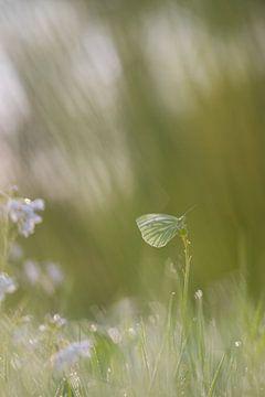 Grünader-Weißling soft von Francois Debets