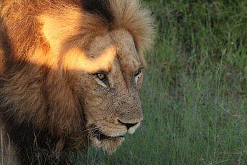 Leeuw - Koning van de savanne  von Irma Boonman