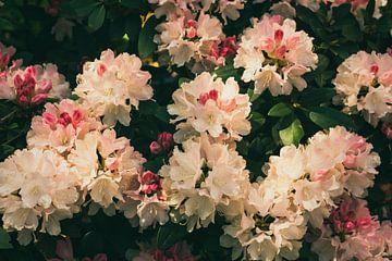 Dreamland (Rododendron) van