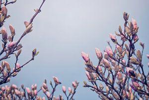 Fleurs magnolia en bourgeon