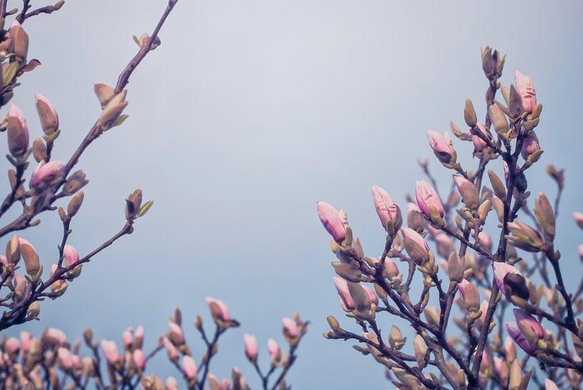 Magnoliabloemen in knop van Arja Schrijver Fotografie