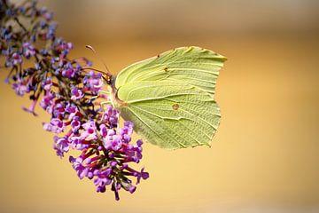 Vlinder in de natuur van Lisa-Valerie Gerritsen