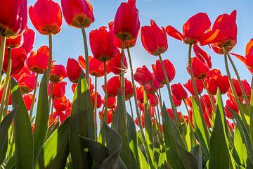 Rote Tulpen an einem sonnigen Tag von Remco-Daniël Gielen Photography