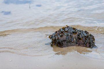 Er zitten veel algen op de stenen op het zandstrand van Matthias Korn