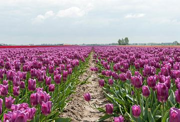 veld met paarse tulpen van Compuinfoto .