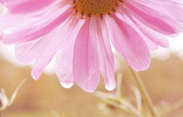 Liquid Pink von Carmen Fotografie
