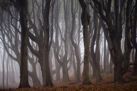 Kronkelende oude bomen in de mist