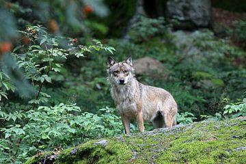 Wolf sur