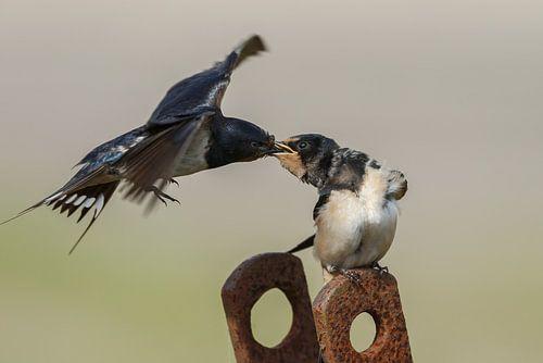 Boerenzwaluw voert de jonge zwaluw van