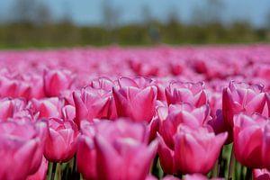 Tulpen veld, roze van Patricia Leeman