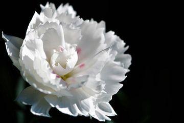 Weiße Blume in der Sonne von Peter Scheermeijer