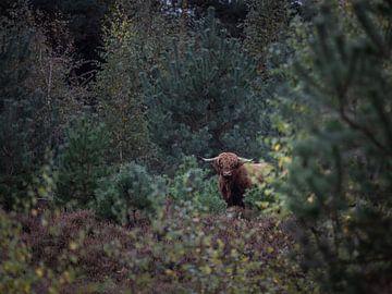 Schotse hooglander in de heidevelden van Joy van der Beek