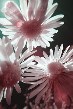 Gänseblümchen-Makro-Infrarot von Lars Beekman