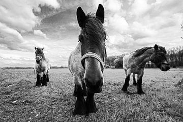 Paarden in zwart/wit