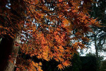 Esdoorn in Arboretum Kalmthout van Miss Dee Photography