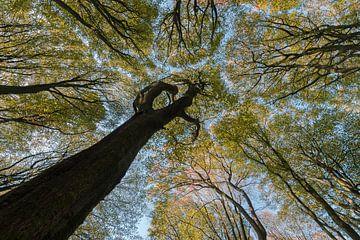 boomtoppen in het beukenbos sur