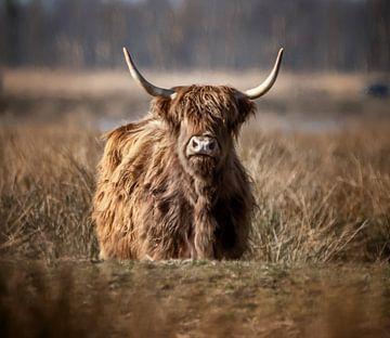 Schotse Hooglander tussen het riet van natascha verbij