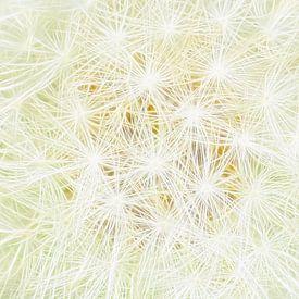 Soft White (Wit zacht Paardenbloempluis) van Caroline Lichthart