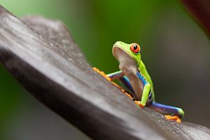 Costa Rica roodoogmakikikker van
