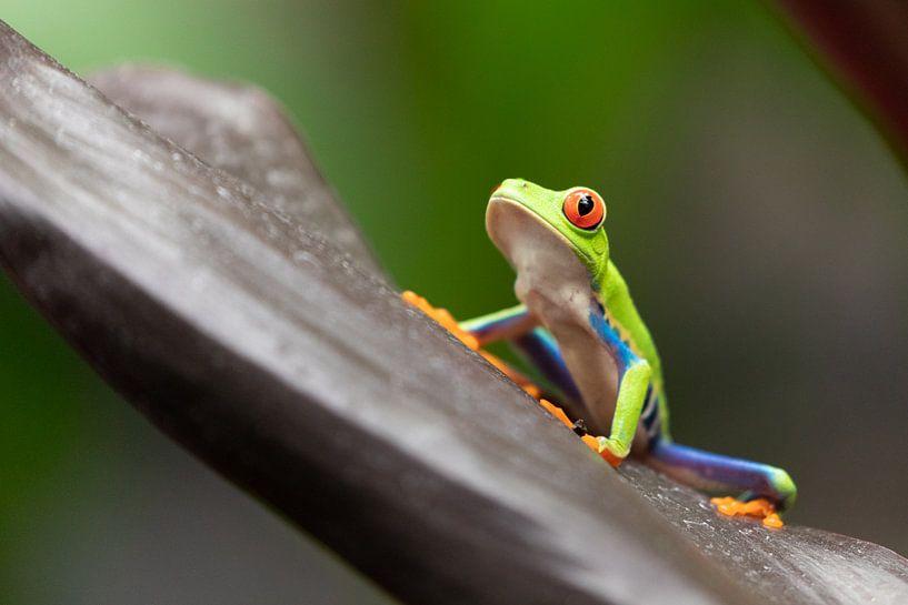 Costa Rica roodoogmakikikker van Dennis te Lintelo