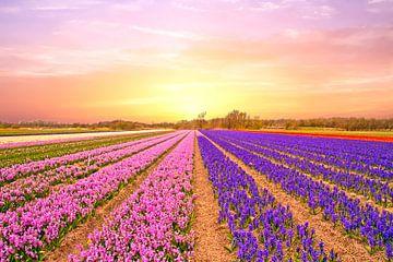 Bloeiende tulpen velden in Noord Holland van Nisangha Masselink