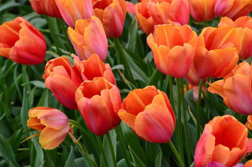Oranje Tulpen van Marcel van Duinen