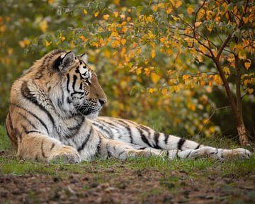 Sibirischer Tiger im Herbst von Patrick van Bakkum